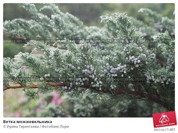 Ветка можжевельника, эксклюзивное фото № 1401, снято 18 сентября 2005 г. (c) Ирина Терентьева / Фотобанк Лори