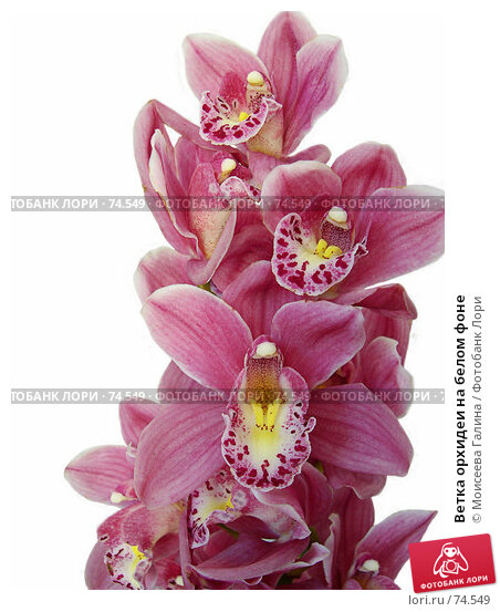 Купить «Ветка орхидеи на белом фоне», фото № 74549, снято 21 апреля 2018 г. (c) Моисеева Галина / Фотобанк Лори