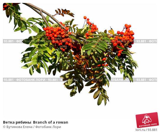 Ветка рябины  Branch of a rowan, фото № 93881, снято 24 сентября 2007 г. (c) Бутинова Елена / Фотобанк Лори