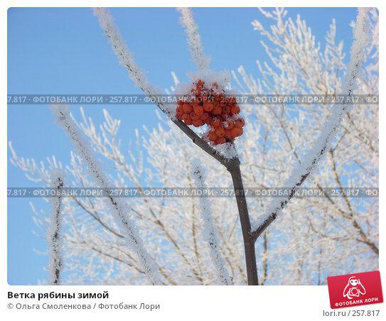 Ветка рябины зимой, фото № 257817, снято 7 января 2008 г. (c) Ольга Смоленкова / Фотобанк Лори