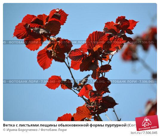 Ветка с листьями лещины обыкновенной формы пурпурной (Corylus ...