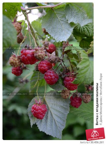 Ветка с ягодами малины. Стоковое фото, фотограф Дина Моногарова / Фотобанк Лори