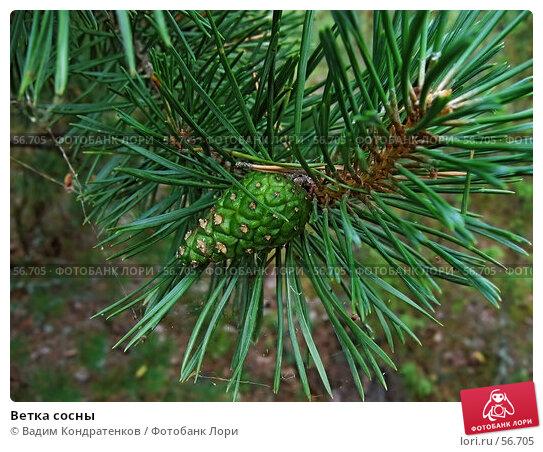 Ветка сосны, фото № 56705, снято 26 июля 2017 г. (c) Вадим Кондратенков / Фотобанк Лори
