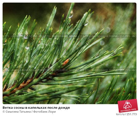 Ветка сосны в капельках после дождя, фото № 251773, снято 1 октября 2006 г. (c) Смыгина Татьяна / Фотобанк Лори