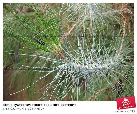 Ветка субтропического хвойного растения, фото № 258213, снято 12 апреля 2008 г. (c) Заноза-Ру / Фотобанк Лори