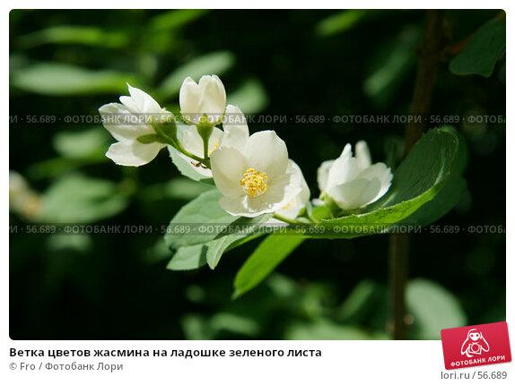 Ветка цветов жасмина на ладошке зеленого листа, фото № 56689, снято 24 июня 2007 г. (c) Fro / Фотобанк Лори