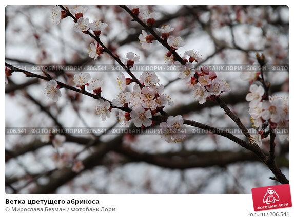 Купить «Ветка цветущего абрикоса», фото № 206541, снято 11 апреля 2007 г. (c) Мирослава Безман / Фотобанк Лори