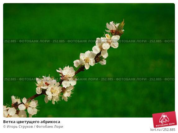 Ветка цветущего абрикоса, фото № 252885, снято 15 апреля 2008 г. (c) Игорь Струков / Фотобанк Лори