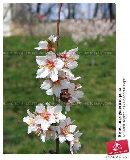 Ветка цветущего дерева, фото № 232577, снято 20 марта 2008 г. (c) Юлия Селезнева / Фотобанк Лори