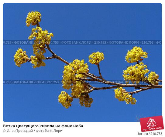 Ветка цветущего кизила на фоне неба, фото № 210753, снято 12 апреля 2005 г. (c) Илья Троицкий / Фотобанк Лори