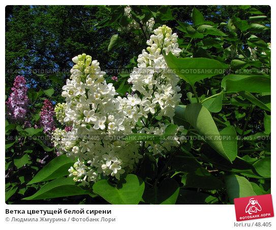 Ветка цветущей белой сирени, фото № 48405, снято 29 мая 2007 г. (c) Людмила Жмурина / Фотобанк Лори