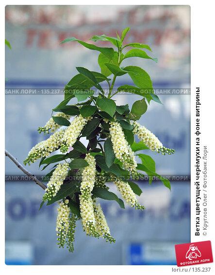 Купить «Ветка цветущей черёмухи на фоне витрины», фото № 135237, снято 27 мая 2006 г. (c) Круглов Олег / Фотобанк Лори