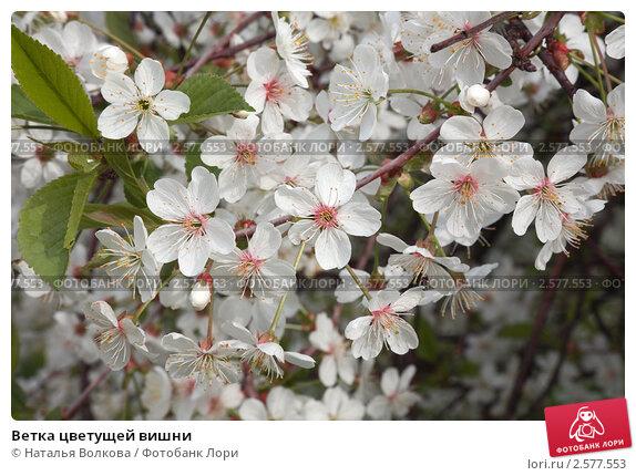 Купить «Ветка цветущей вишни», фото № 2577553, снято 17 мая 2011 г. (c) Наталья Волкова / Фотобанк Лори