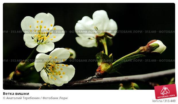 Ветка вишни, фото № 313449, снято 2 мая 2008 г. (c) Анатолий Теребенин / Фотобанк Лори