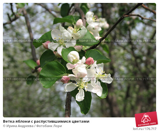Ветка яблони с распустившимися цветами, фото № 176717, снято 19 мая 2007 г. (c) Ирина Андреева / Фотобанк Лори