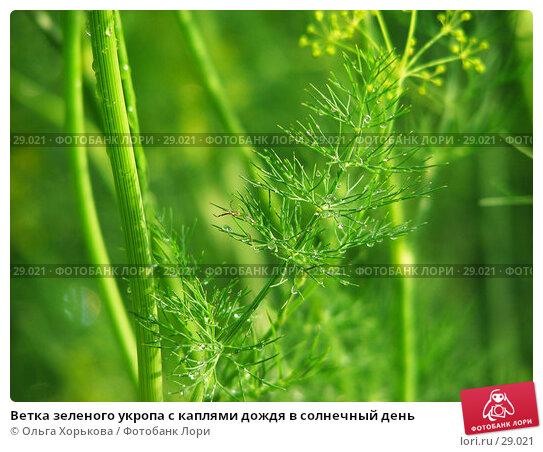 Ветка зеленого укропа с каплями дождя в солнечный день, фото № 29021, снято 26 июля 2006 г. (c) Ольга Хорькова / Фотобанк Лори