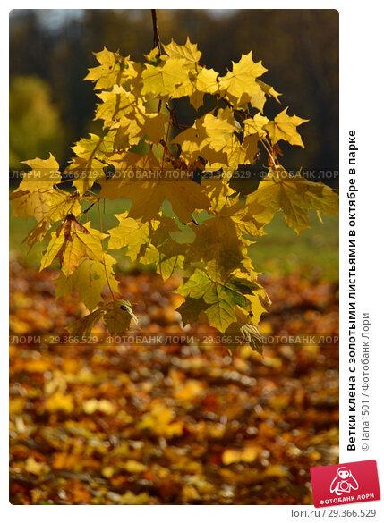 Купить «Ветки клена с золотыми листьями в октябре в парке», эксклюзивное фото № 29366529, снято 17 октября 2018 г. (c) lana1501 / Фотобанк Лори