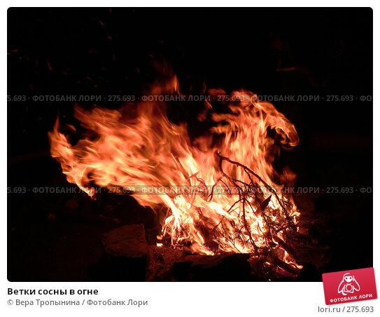 Ветки сосны в огне, фото № 275693, снято 27 мая 2017 г. (c) Вера Тропынина / Фотобанк Лори
