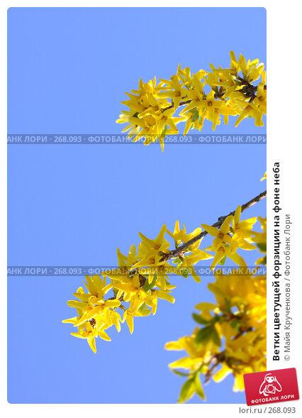 Ветки цветущей форзиции на фоне неба, фото № 268093, снято 27 апреля 2008 г. (c) Майя Крученкова / Фотобанк Лори