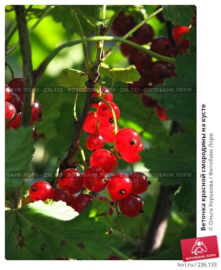 Веточка красной смородины на кусте, фото № 236133, снято 29 июля 2007 г. (c) Ольга Хорькова / Фотобанк Лори