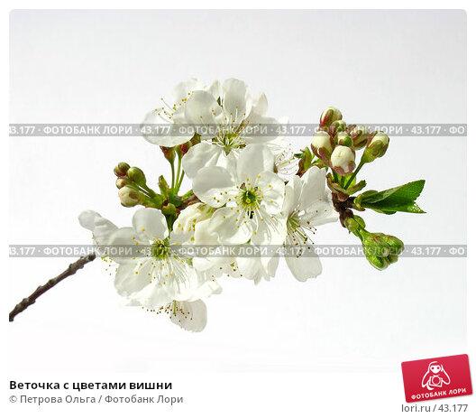 Веточка с цветами вишни, фото № 43177, снято 24 апреля 2007 г. (c) Петрова Ольга / Фотобанк Лори