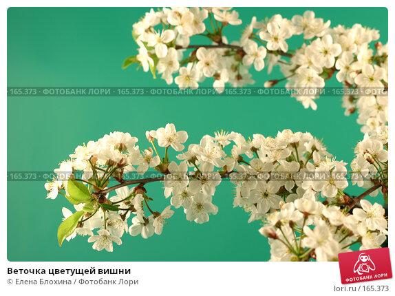 Купить «Веточка цветущей вишни», фото № 165373, снято 13 мая 2007 г. (c) Елена Блохина / Фотобанк Лори
