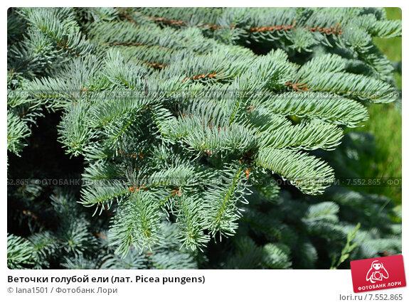 Купить «Веточки голубой ели (лат. Picea pungens)», эксклюзивное фото № 7552865, снято 6 июня 2015 г. (c) lana1501 / Фотобанк Лори
