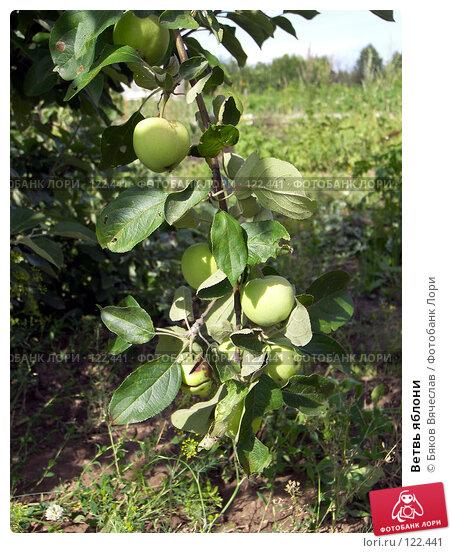 Купить «Ветвь яблони», фото № 122441, снято 26 июля 2007 г. (c) Бяков Вячеслав / Фотобанк Лори
