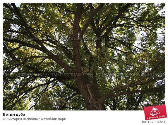 Купить «Ветви дуба», фото № 197541, снято 22 июля 2007 г. (c) Виктория Щепкина / Фотобанк Лори