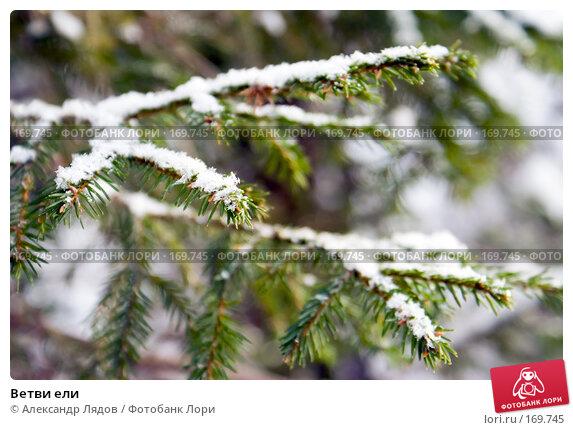 Ветви ели, фото № 169745, снято 4 января 2008 г. (c) Александр Лядов / Фотобанк Лори