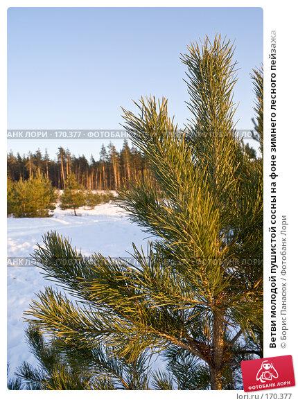 Ветви молодой пушистой сосны на фоне зимнего лесного пейзажа, фото № 170377, снято 31 декабря 2007 г. (c) Борис Панасюк / Фотобанк Лори