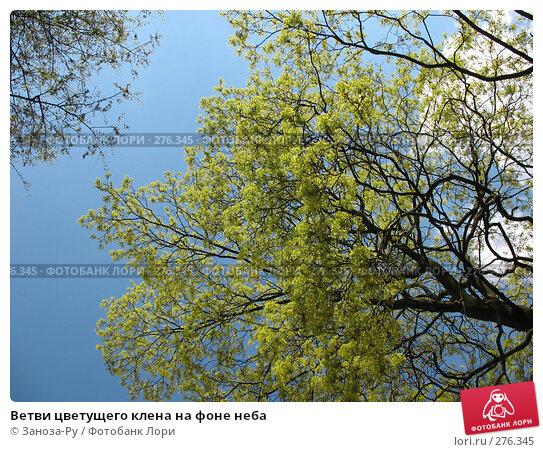 Ветви цветущего клена на фоне неба, фото № 276345, снято 2 мая 2008 г. (c) Заноза-Ру / Фотобанк Лори