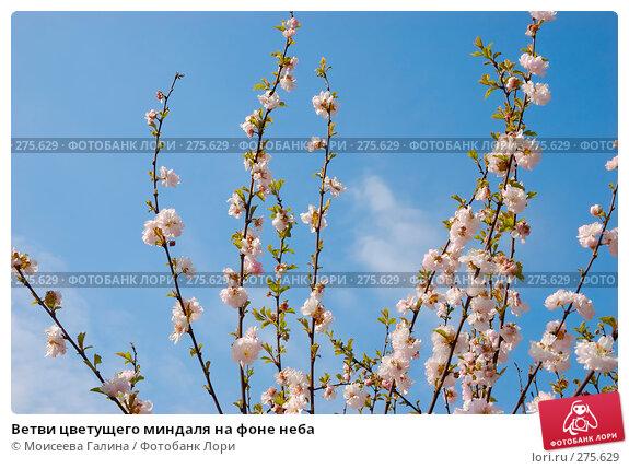 Ветви цветущего миндаля на фоне неба, фото № 275629, снято 1 мая 2008 г. (c) Моисеева Галина / Фотобанк Лори