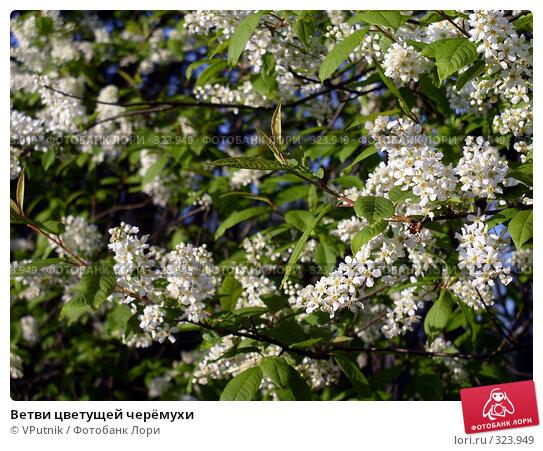Ветви цветущей черёмухи, фото № 323949, снято 28 марта 2017 г. (c) VPutnik / Фотобанк Лори