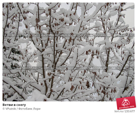 Ветви в снегу, фото № 233677, снято 28 апреля 2017 г. (c) VPutnik / Фотобанк Лори