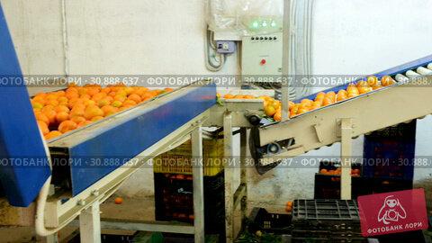 Купить «View of ripe mandarin oranges on conveyor belt of sorting production line», видеоролик № 30888637, снято 29 января 2019 г. (c) Яков Филимонов / Фотобанк Лори