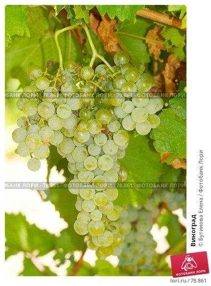 Виноград, фото № 78861, снято 21 августа 2007 г. (c) Бутинова Елена / Фотобанк Лори