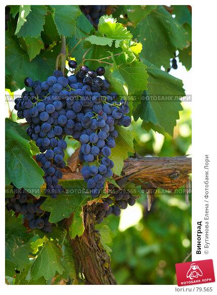 Виноград, фото № 79565, снято 24 августа 2007 г. (c) Бутинова Елена / Фотобанк Лори