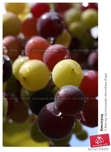 Виноград, фото № 178077, снято 14 сентября 2007 г. (c) Виктор Застольский / Фотобанк Лори