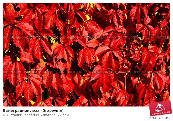 Виноградная лоза. (Grapevine), фото № 92449, снято 23 сентября 2007 г. (c) Анатолий Теребенин / Фотобанк Лори