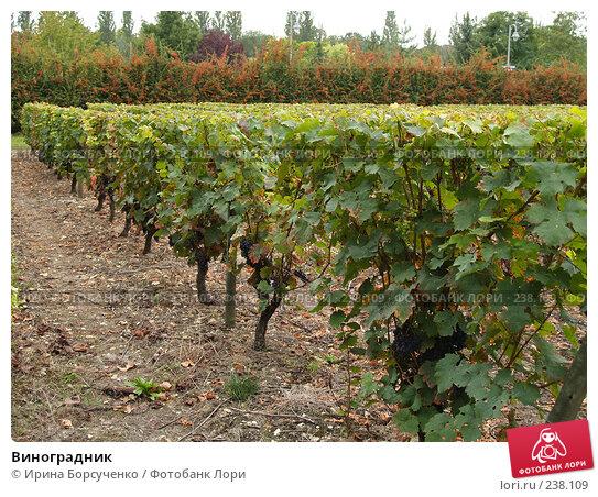 Виноградник, фото № 238109, снято 7 сентября 2007 г. (c) Ирина Борсученко / Фотобанк Лори