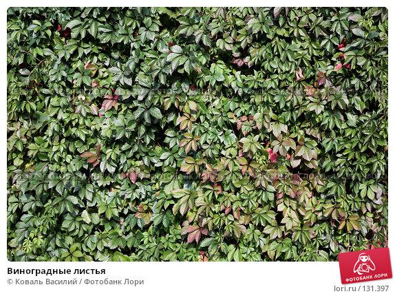 Купить «Виноградные листья», фото № 131397, снято 6 сентября 2007 г. (c) Коваль Василий / Фотобанк Лори