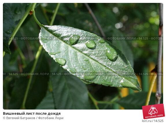Вишневый лист после дождя, фото № 14525, снято 2 июля 2006 г. (c) Евгений Батраков / Фотобанк Лори