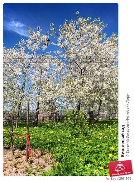 Вишневый сад, фото № 293509, снято 9 мая 2008 г. (c) Евгений Захаров / Фотобанк Лори