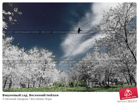 Купить «Вишневый сад. Весенний пейзаж», фото № 293517, снято 9 мая 2008 г. (c) Евгений Захаров / Фотобанк Лори