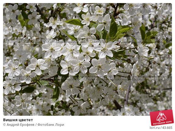 Вишня цветет, фото № 43665, снято 15 мая 2007 г. (c) Андрей Ерофеев / Фотобанк Лори