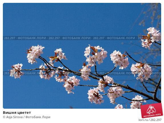 Вишня цветет, фото № 282297, снято 26 апреля 2008 г. (c) Asja Sirova / Фотобанк Лори