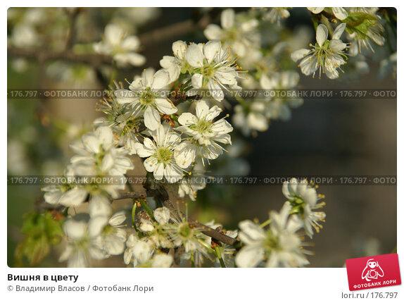 Купить «Вишня в цвету», фото № 176797, снято 26 мая 2007 г. (c) Владимир Власов / Фотобанк Лори