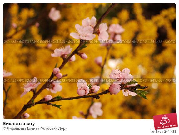 Вишня в цвету, фото № 241433, снято 23 марта 2008 г. (c) Лифанцева Елена / Фотобанк Лори