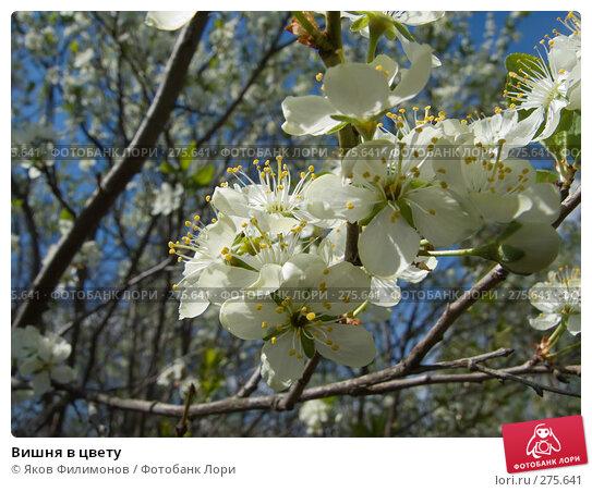 Вишня в цвету, фото № 275641, снято 1 мая 2008 г. (c) Яков Филимонов / Фотобанк Лори